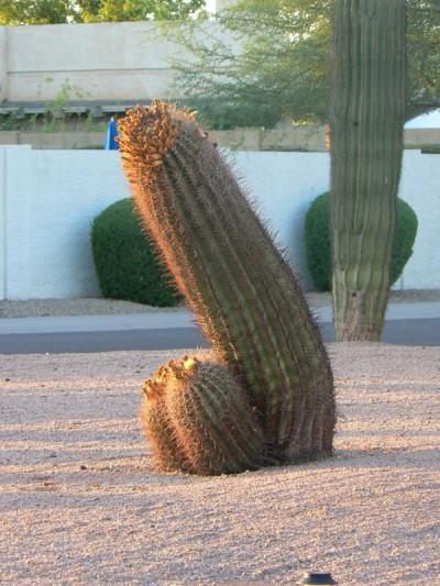 Cactus-penis
